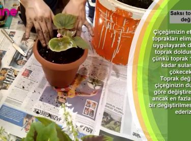 Saksı toprağı nasıl değiştirilir