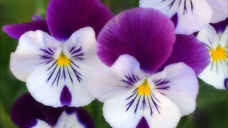 Menekse Çiçeği Bakımı Nasıl Yapılır