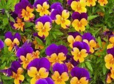 Menekse Çiçeği Saksı Değişimi Yapımı
