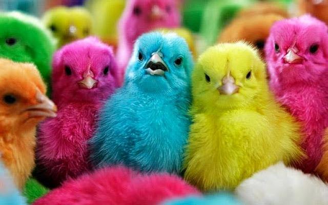 Renkli Civcivlere yapılan eziyete sen de DUR DE