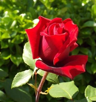 En çok Sevilen çiçek Türleri Canım Anne