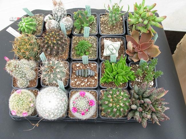 kaktus-radyasyondan-korur-mu