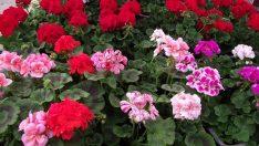 Sardunya Bitkisi Bakımı ve Yetiştirilmesi
